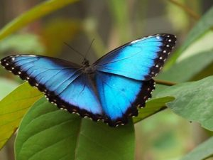 morpho butterfly is an insect of costa rica