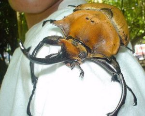 rhinocerous beetle is a huge costa rica insect