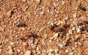 Costa Rica army ants